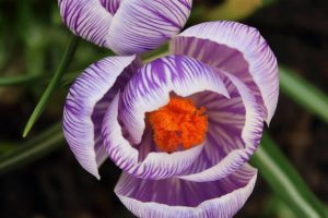 Lets stop to look at the Crocus flower